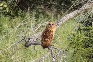 Pels owl